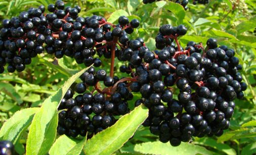 Commentary: Cold season is upon us; don't forget the elderberry!